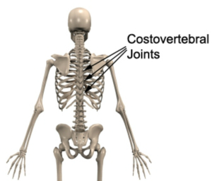 Facet joint  Wikipedia